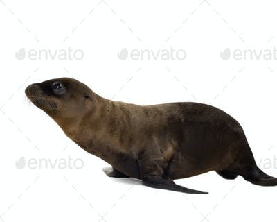 sea-lion pup (3 months)