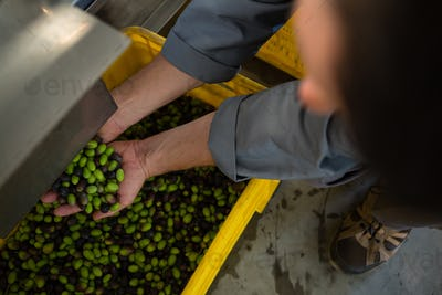 Worker holding harvested olives