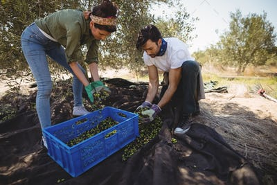 Young couple collecting olives at farm