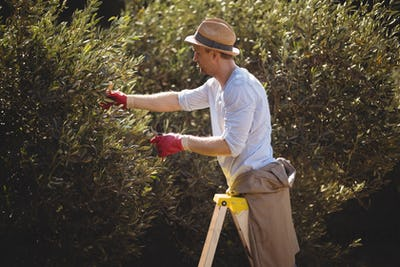 Young man using ladder for plucking olives at farm