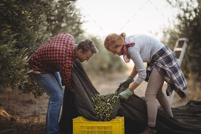 Man and woman collecting olives in crates at farm during sunny day