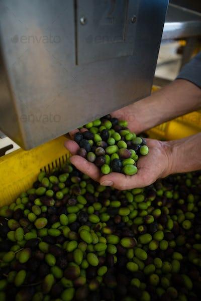 Hand of worker holding harvested olives