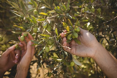 Hands of couple holding olive tree at farm