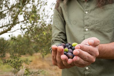 Mid section of man holding harvested olives