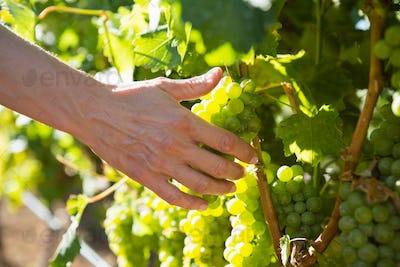 Close-up of female vintner harvesting grapes