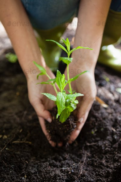 Cropped hands of female planting seedling on dirt