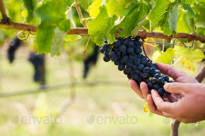 Cropped hands of man touching grapes