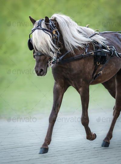 Carriage driving American Shetland Pony.
