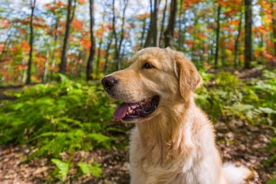 Golden Retriever portrait in fall sitting in the forest