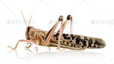Desert locust - Schistocerca gregaria