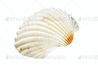 Scallops shell on white