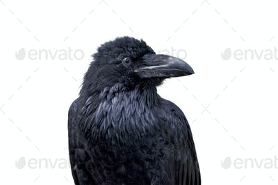 Portrait of common raven (Corvus corax) on a white background