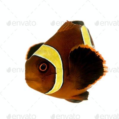 Gold stripe Maroon Clownfish - Premnas biaculeatus