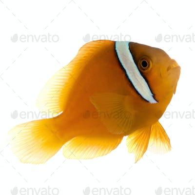 Saddle anemonefish - Amphiprion  ephippium