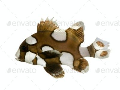 Harlequin or clown sweetlips - Plectorhynchus chaetodonoides