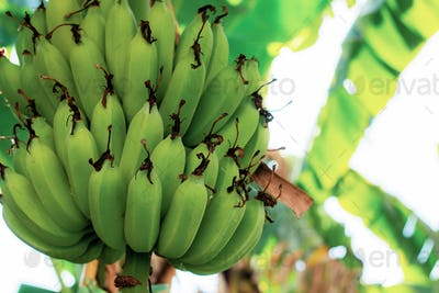 Raw banana at sky