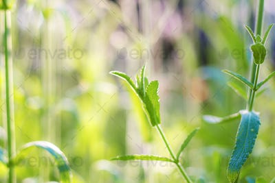 Verbena leaves with beautiful at sunrise