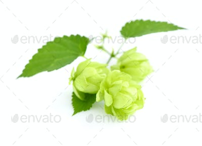 Hop cones (Humulus) isolated closeup on white background