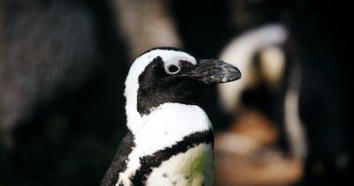 Portrait of close-up vew of antartic penguin