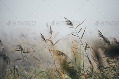 Reeds in gloomy autumn morning
