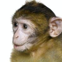 baby Barbary Macaque - Macaca sylvanus