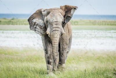 Elephant bull walking towards the camera.