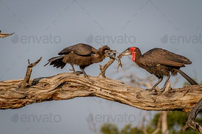 Souther ground hornbill feeding her chick.