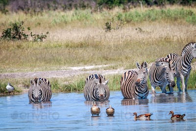 Zebras standing in the water and drinking.