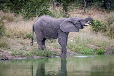 Elephant drinking water at a waterhole.