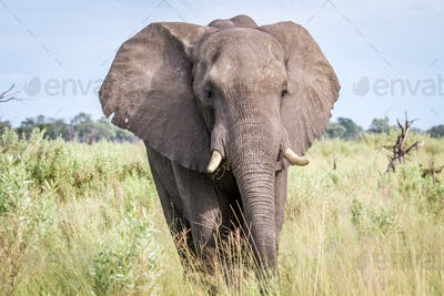 Big male Elephant bull in the high grass.