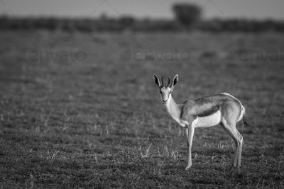 Springbok starring at the camera in black and white.