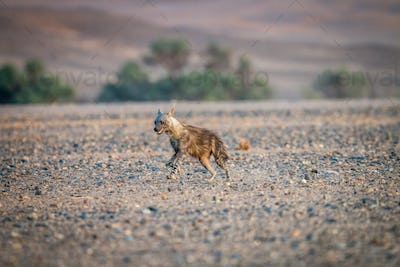 Brown hyena running in the sand.