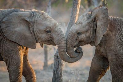 Elephants playing and cuddling.