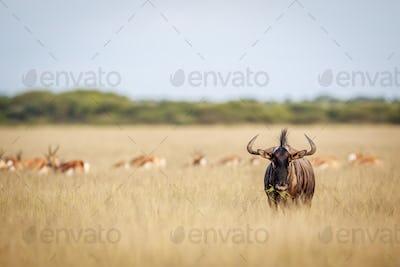 Blue wildebeest standing in the grass.