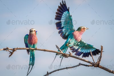 Two Lilac-breasted rollers on a branch.