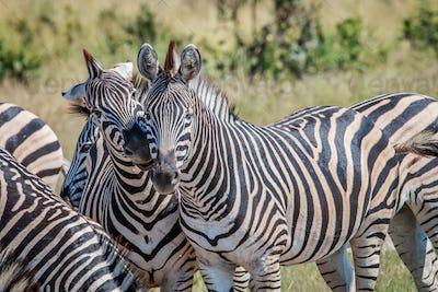 Two Zebras bonding in the Chobe National Park.