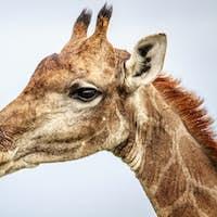 Side profile of a Giraffe.