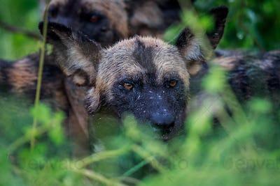 Wet African wild dog in the bush.