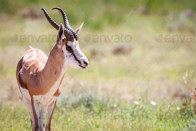 Springbok looking at the camera.