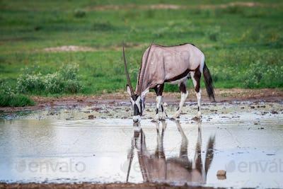 Gemsbok drinking water.