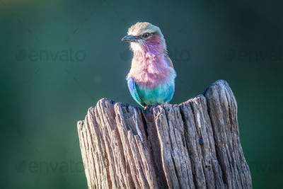 Lilac-breasted roller sitting on a tree stump.