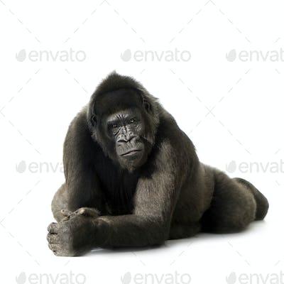 Young Silverback Gorilla
