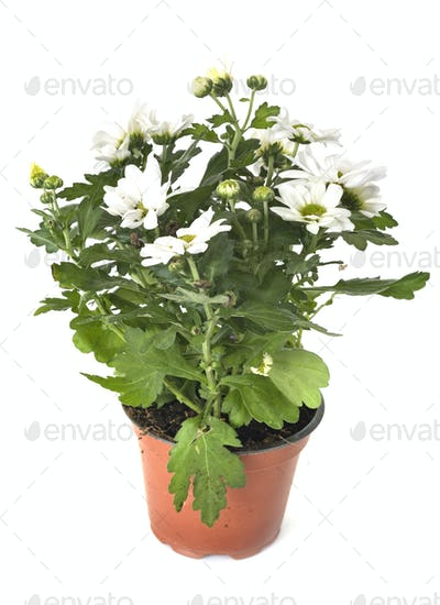 Chrysanthemum in studio