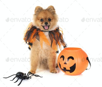 puppy pomeranian and halloween