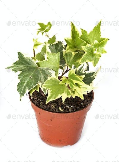 ivy plant in studio