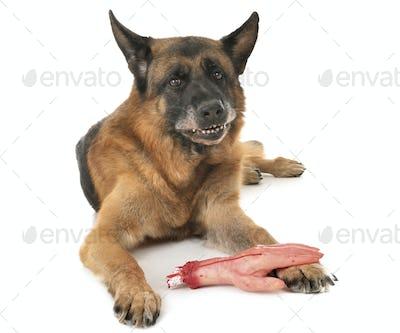 german shepherd and cut hand