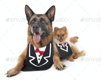 german shepherd and spitz