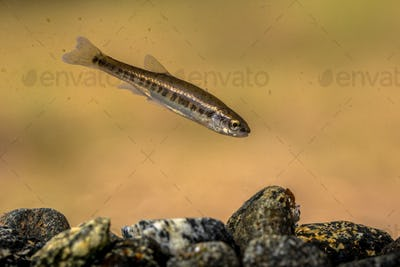 Eurasian minnow swimming in rocky creek