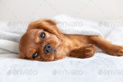 Cute puppy resting under the blanket