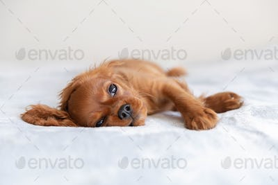 Small puppy relaxing on the bed